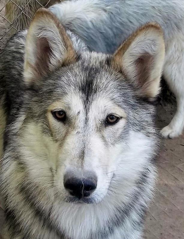 native american indian dog sires  u0026 dams