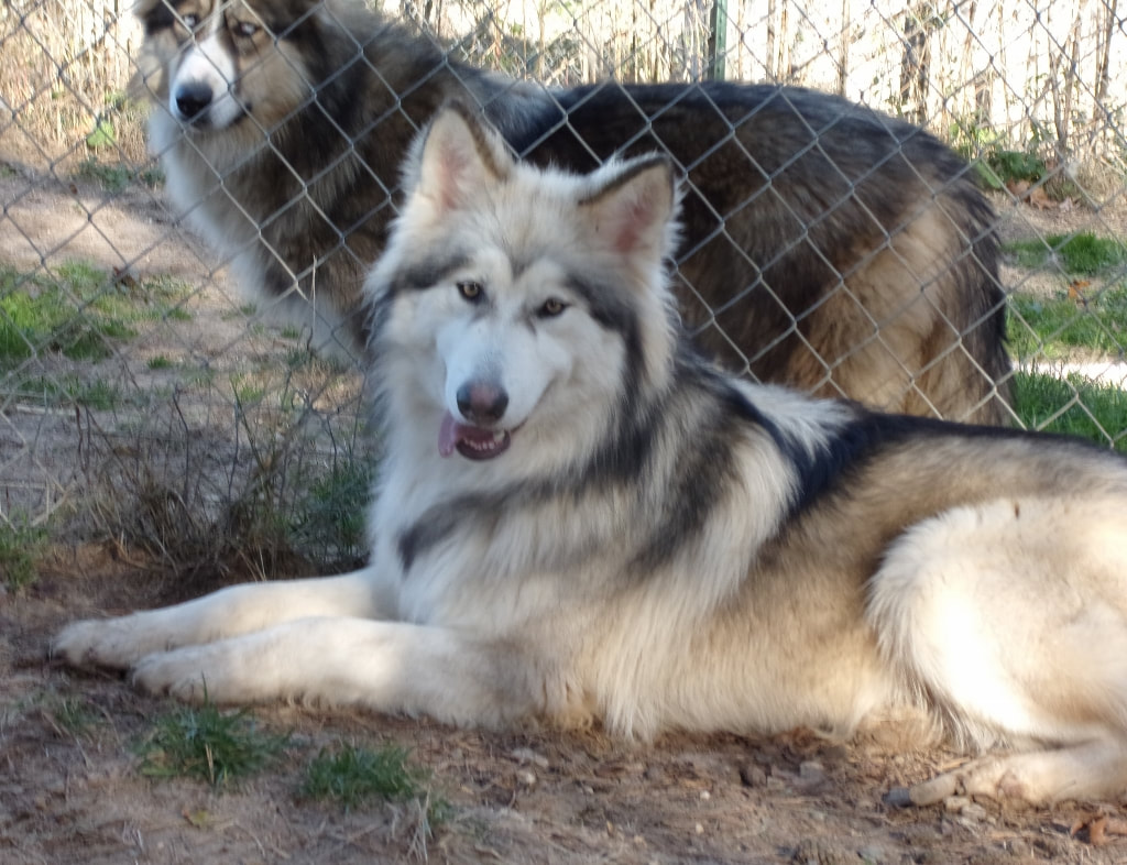 NATIVE AMERICAN INDIAN DOG PUPPIES - MAJESTIC VIEW KENNELS