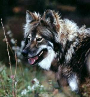 MAJESTIC VIEW KENNELS HYPOALLERGENIC DOGS! - HYPOALLERGENIC