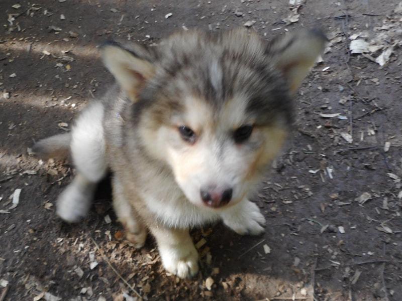 st  john u0026 39 s indian dog puppies